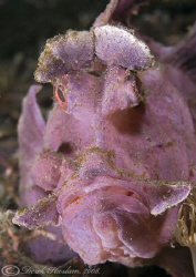 Paddle-Flap Scorpion Fish. Lembeh straits. D200, 60mm. by Derek Haslam