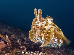 """""""Cuttlefish"""" Raja Ampat, West Papua (14mm, f/5.6, 1/160) by Henry Jager"""