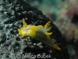 Trapania maculata, 1,5cm slug, depth 8 m /Fiesa, Slovenia by Melita Bubek