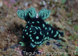 Nembrotha cristata, found at abot 10 meters deep off Sang... by Teguh Tirtaputra