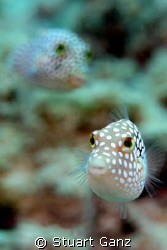 White spotted tobys, a common fish on the Hawaiian reef. ... by Stuart Ganz