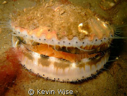 Location Loch Fyne, Scallop taken with fuji f30 by Kevin Wise