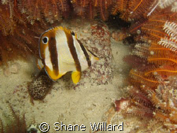 Butterfly Fish in an underwater frame!, shot with my firs... by Shane Willard