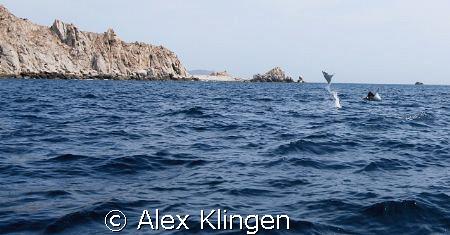 Sea of Cortez, jumping mantas by Alex Klingen