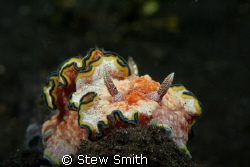 60mm macro 350D one of the lovely nudi's that can be fou... by Stew Smith