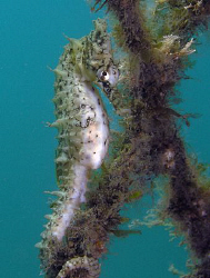 White's seahorse, Chowder Bay by Doug Anderson