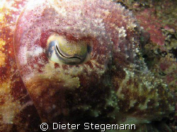 This common cuttlefish was hovering motionless in the wat... by Dieter Stegemann
