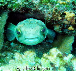 Happy little guy. El Bajo, Sea of Cortez by Alex Klingen
