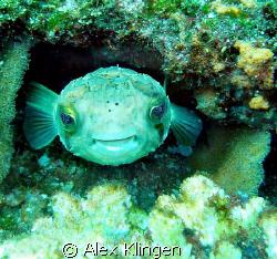 Happy little guy. El Bajo, Sea of Cortez by Alex Klingen