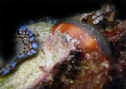 Cowrie entwined with live clam by Martin Dalsaso