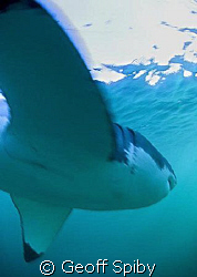 very close encounter with a great white shark-its fin is ... by Geoff Spiby