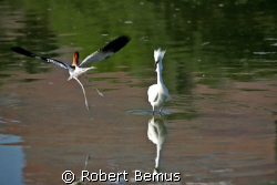 Drama at the cove/The poor Egret was minding its own busi... by Robert Bemus