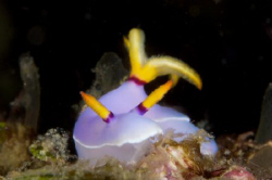 Hypselodoris bullockii, Nudibranch Taken at Tufi Dive Res... by Terry Moore