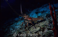 Spiny Caribbean Lobster by Keith Partlo