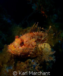 Look... But don't touch!!!!  Huge Scorpionfish on the w... by Karl Marchant