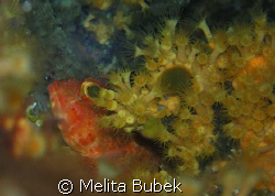 red scorpaena porcus// 1/125s, f/4,5, Oly C5060WZ, macro ... by Melita Bubek