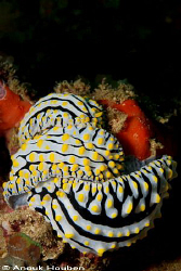 Phyllidia varicosa. Picture taken on the second reef off ... by Anouk Houben
