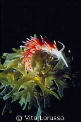 Nudibranchs - Cratena peregrina by Vito Lorusso