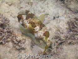 Puffer shot while snorkeling early morning. by John Carroll