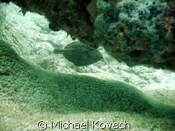 Highhat hiding under on of the canon on the scuba trail f... by Michael Kovach