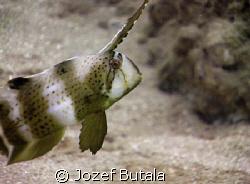 juvenile peacock razor wrasse,haloa point,makena,maui by Jozef Butala
