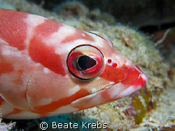 Blacktip grouper , Canon S70 with Macro Lens by Beate Krebs