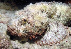 Clever Disguise on a Bonaire night dive! by Meredith Lynch