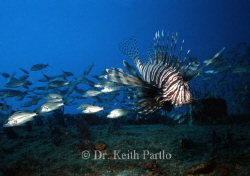 Lionfish On wreck off of Beaufort  North Carolina by Keith Partlo