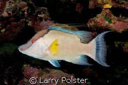 One of many Hogfish diving Roatan, Nikon D300 by Larry Polster