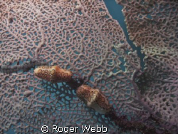 Flamingo Tongue on fan coral by Roger Webb