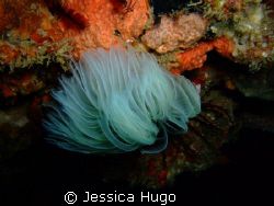 feather-duster worm by Jessica Hugo
