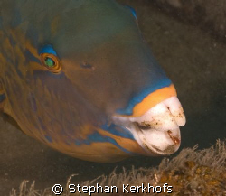 Parrotfish taken in Na'ama Bay, sharm el sheik by Stephan Kerkhofs