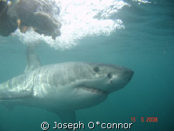 no strobe,no filters.taken during cage dive by Joseph O*connor