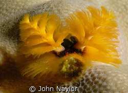 christmas tree worm. by John Naylor