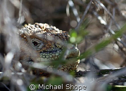 Land Iguana hidden in the bushes on one of the islands in... by Michael Shope