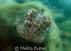 cuttlefish // C5060WZ ISO 100, 1/160s, f/7,1 , macro lens... by Melita Bubek