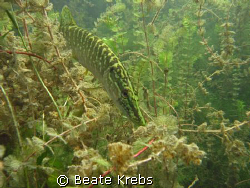 Pike fish in local lake, no strobe , canon S70  by Beate Krebs
