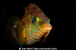 Corkwing wrasse (Symphodus melops) standing by and defend... by Joao Pedro Tojal Loia Soares Silva