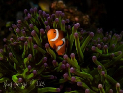 a lucky aNEMOne fish in its beautifully coloured anemone.... by Mona Dienhart