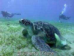 Turtle in Marsa Alam by Alberto D'este