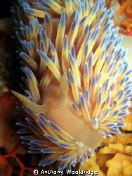 A Gas Flame Nudibranch taken at Moonie 3 reef in Port Eli... by Anthony Wooldridge