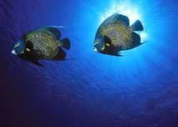 French Angelfish, Little Cayman (Nikon F4/18mm/Provia) by Andrew Dawson