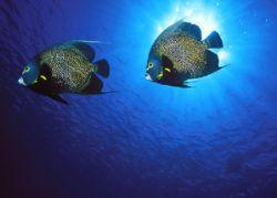 French Angelfish, Little Cayman (Nikon F4/18mm/Provia) by Andrew Dawson