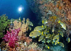 sweetlips at Mikes Point, Raja Ampat by Geoff Spiby