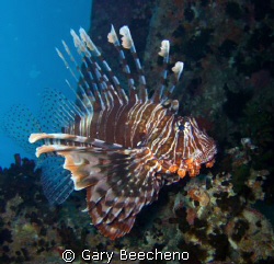 Swimming Lion Fish in the Red Sea by Gary Beecheno