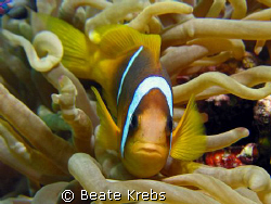Nemo, that little guy was making clicking sounds while I ... by Beate Krebs