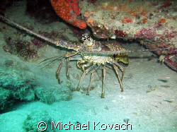 Lobster on the inside reef at Lauderdale by the Sea by Michael Kovach