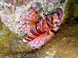 Lion Fish, Julian Rocks by Caitlin Braithwaite