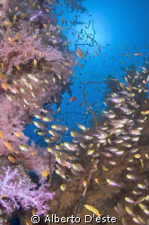Soft coral in Shaab Rumi by Alberto D'este
