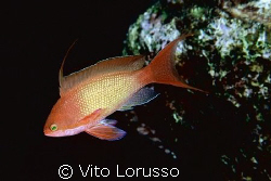 Fishs - Anthias anthias by Vito Lorusso